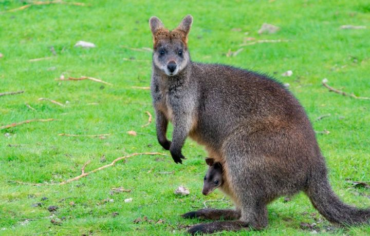 chateau-du-boisniard-wallabies