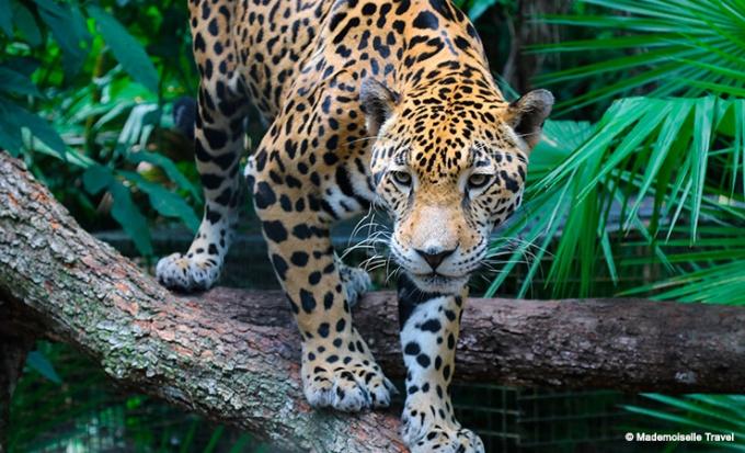 belize-jaguar-mademoiselle-travel
